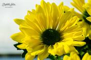 30th Mar 2019 - Chrysanthemum