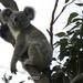 Dewdrop by koalagardens