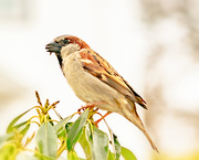 30th Mar 2019 - another one my house sparrow with a seed