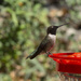 Male Black-chinned Hummer