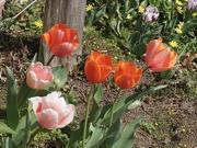 31st Mar 2019 - Tulip Time