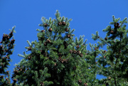 28th Mar 2019 - Pinecones and Blue Sky