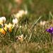 Crocus Lawn