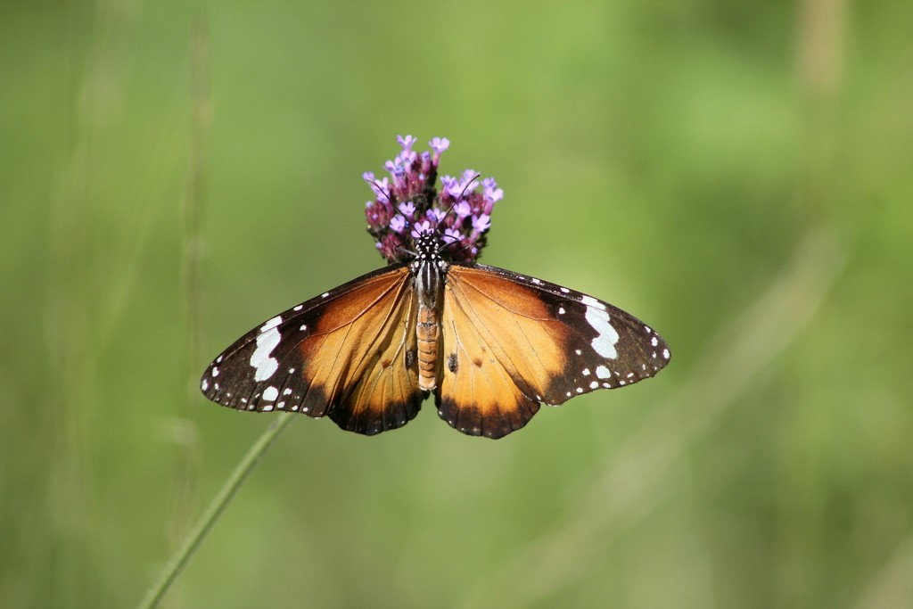 Butterfly by sabine