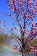31st Mar 2019 - The Riverwalk Red Bud Tree for the wrap!