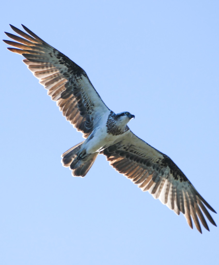 Osprey at full stretch by hrs