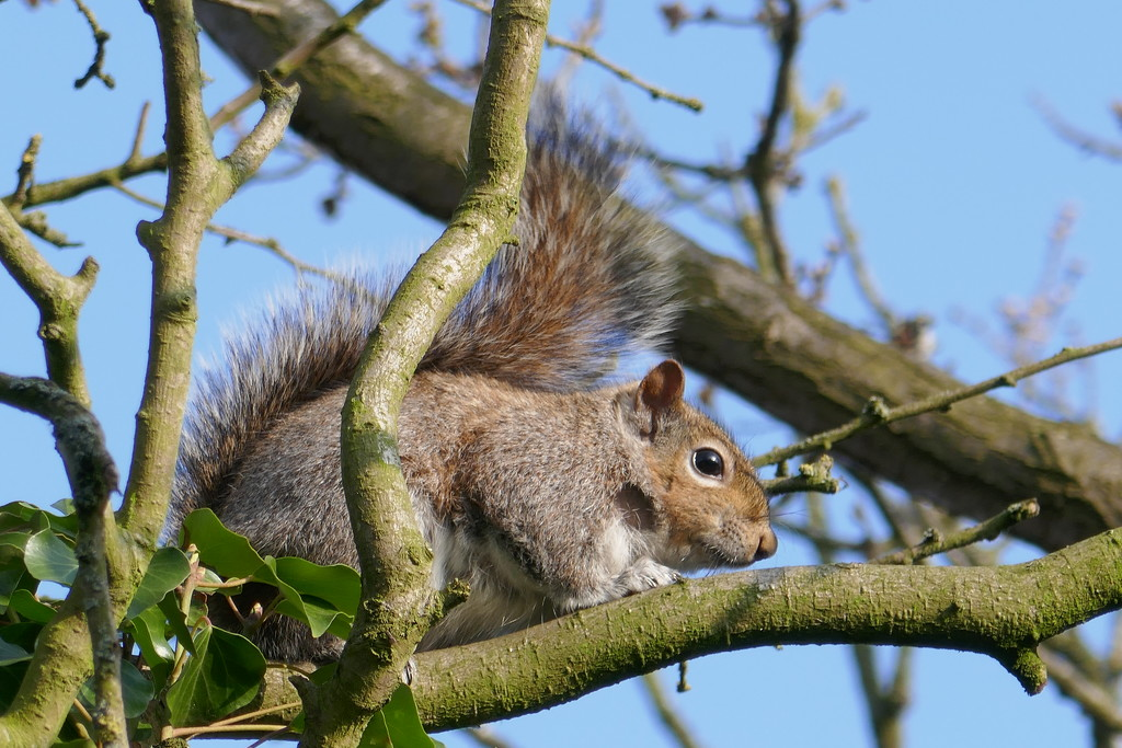 Squirrel at home by shepherdman