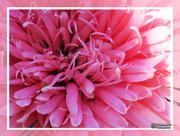 31st Mar 2019 - Pink Gerbera