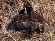 31st Mar 2019 - Canada Goose Nesting