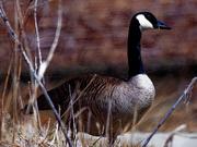 31st Mar 2019 - Canada goose before bricks
