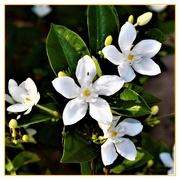 1st Apr 2019 - Orange Blossom ~