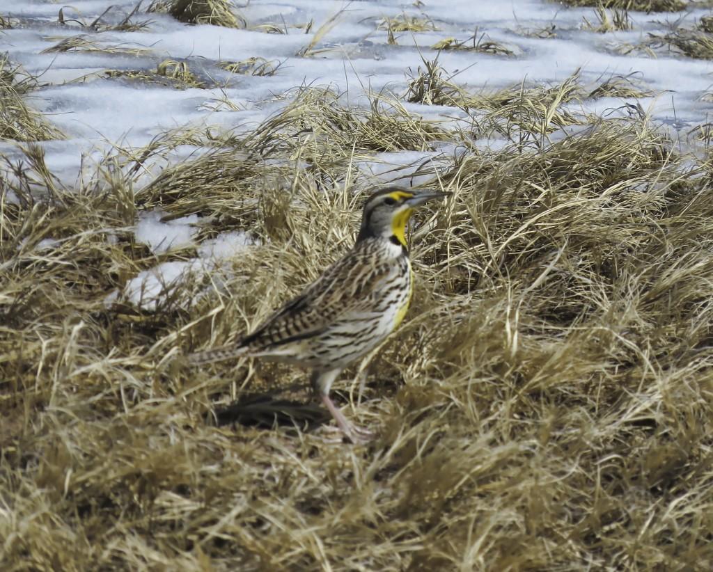 Meadow Lark  by janewinfrey