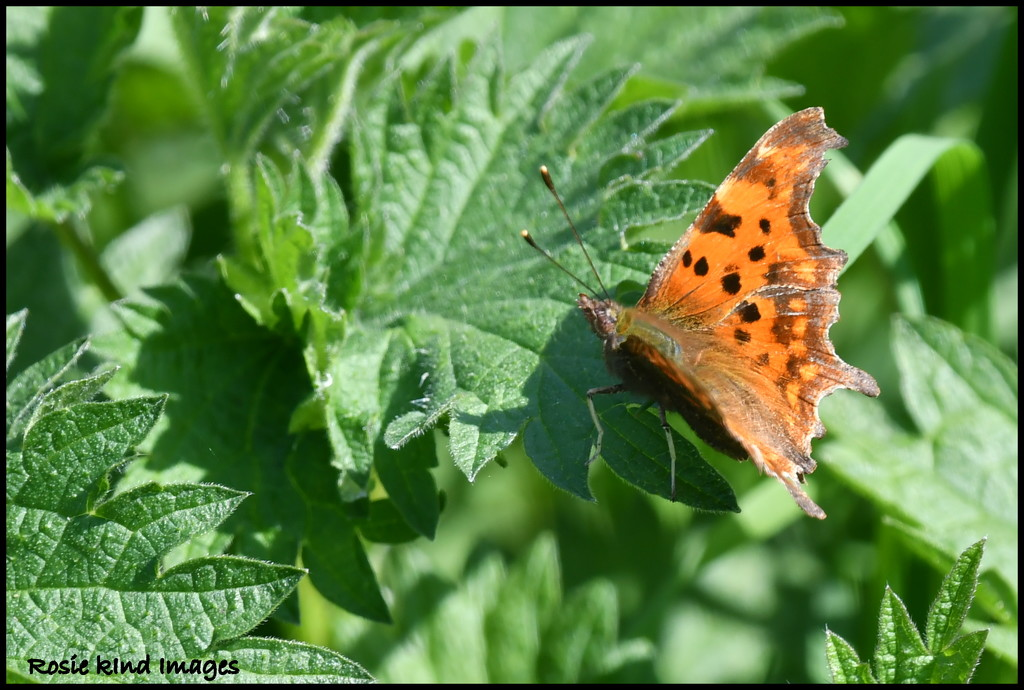 Comma Butterfly by rosiekind