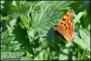 31st Mar 2019 - Comma Butterfly