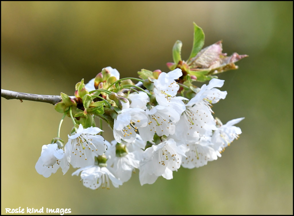 Blossom by rosiekind