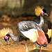 More Black crowned Cranes  by ludwigsdiana
