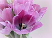 2nd Apr 2019 - Tulips