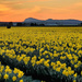 Daffodil Field by gq