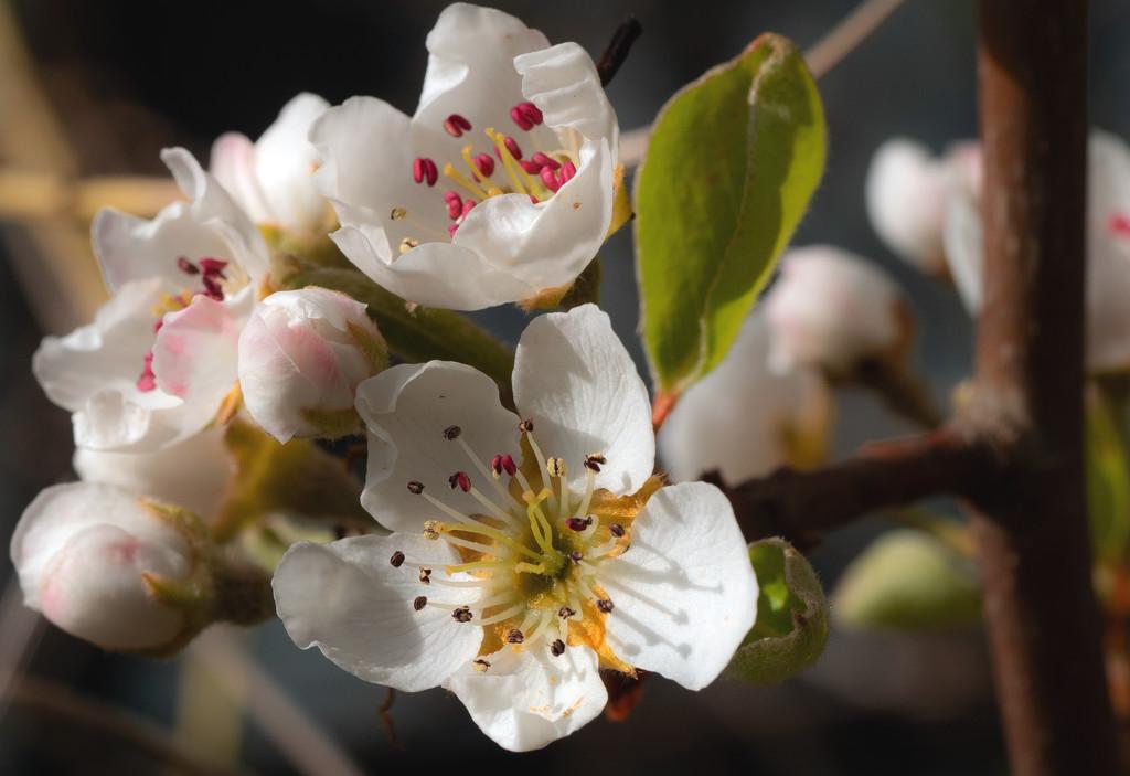 Pear Blossom  by tonygig