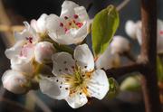 2nd Apr 2019 - Pear Blossom