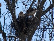 26th Mar 2019 - Hawks in nest