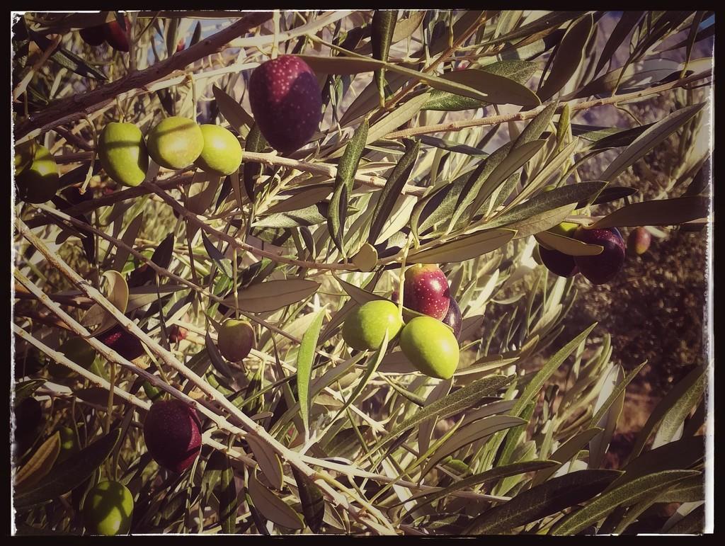 Olive branch by salza