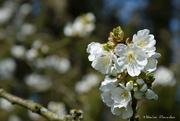 1st Apr 2019 - cherry blossom