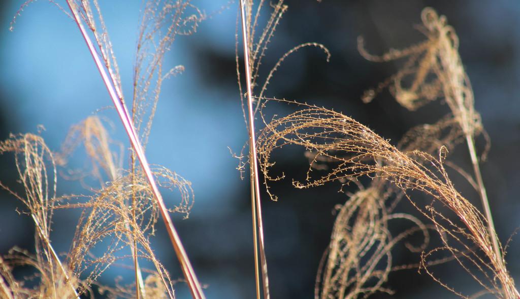Ornamental grass by mittens