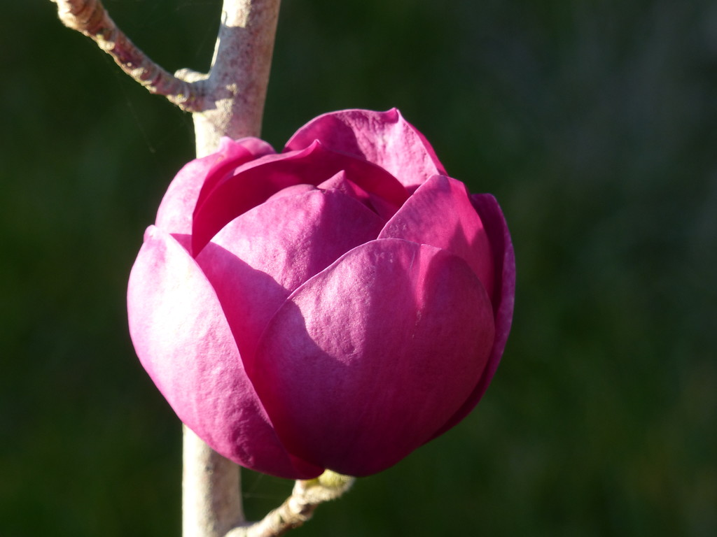 Black Tulip Magnolia  by susiemc