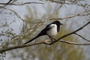14th May 2019 - One for Sorrow!