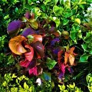 4th Apr 2019 - Beautiful Coleus Plants ~