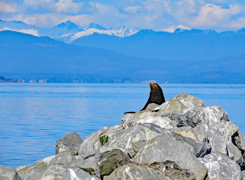 Spring Sea Lion by kathyo