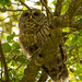 Momma Barred Owl Watching Over the Young One's! by rickster549