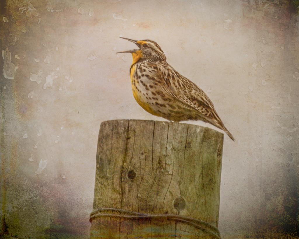 Western Meadowlark by 365karly1