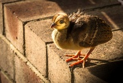 4th Apr 2019 - (Just another) Chick on the Wall