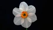 4th Apr 2019 - Pheasant Eye Daffodil.