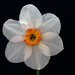 Pheasant Eye Daffodil. by tonygig