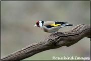 4th Apr 2019 - Goldfinch