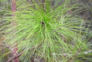 5th Mar 2019 - Long needle pine