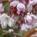 Cherry blossom by snowy