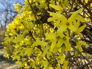5th Apr 2019 - Forsythia