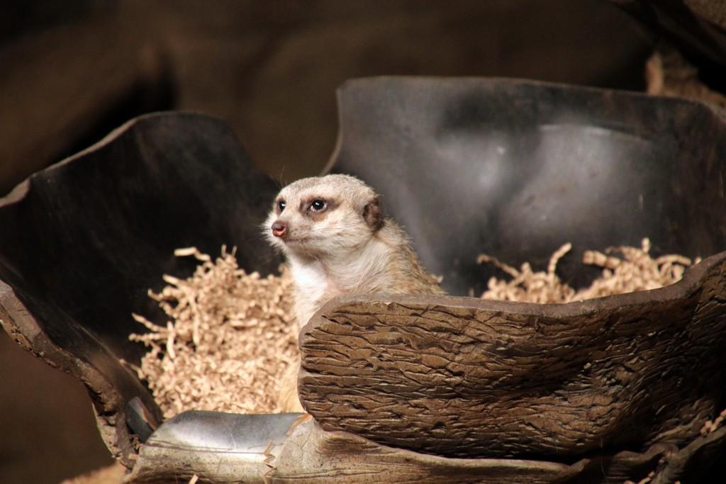 Meerkat In A Nest by randy23