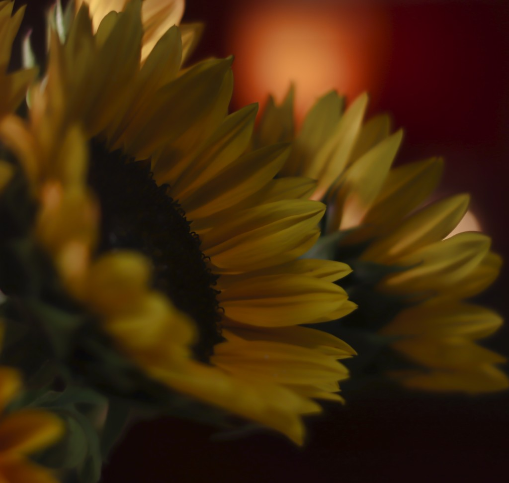 Darker side of sunflowers by janewinfrey