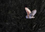 6th Apr 2019 - Hunting Barn Owl