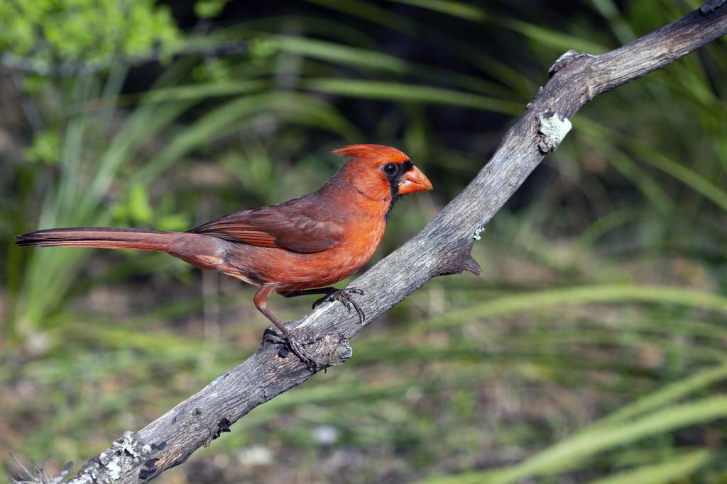 Mr. Red by gaylewood