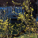 The forsythia is in bloom