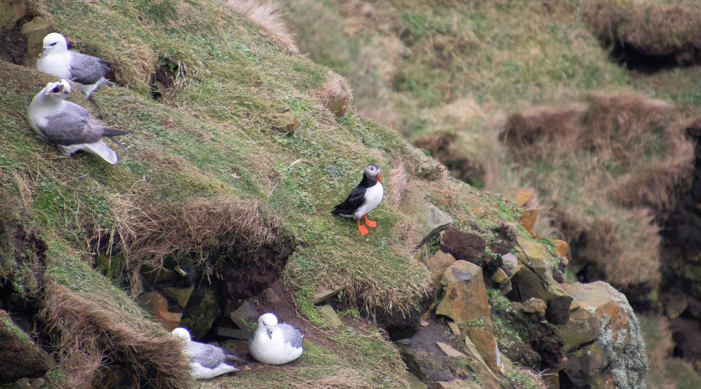 Return of the Puffins by lifeat60degrees