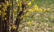 6th Apr 2019 - Forsythia