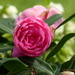 Pink  Camellia ... by snowy