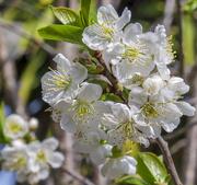 6th Apr 2019 - Cherry...(Velvet Taste)